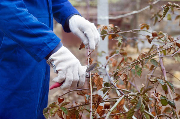 A Gardner Prunes a Blackberry Bush in preparation for winter