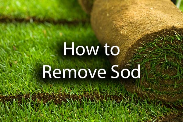 A patch of sod rolled up with the words, how to remove sod.